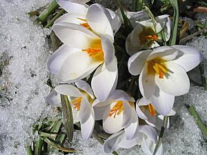 Art Floral fleurs-20dans-20la-20neige